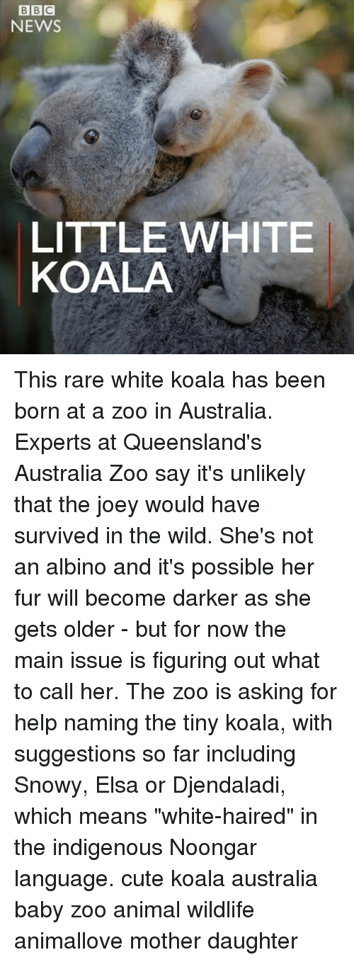 "Cute, Elsa, and Memes: BIBIC  NEWS  LITTLE WHITE  KOALA This rare white koala has been born at a zoo in Australia. Experts at Queensland's Australia Zoo say it's unlikely that the joey would have survived in the wild. She's not an albino and it's possible her fur will become darker as she gets older - but for now the main issue is figuring out what to call her. The zoo is asking for help naming the tiny koala, with suggestions so far including Snowy, Elsa or Djendaladi, which means ""white-haired"" in the indigenous Noongar language. cute koala australia baby zoo animal wildlife animallove mother daughter"