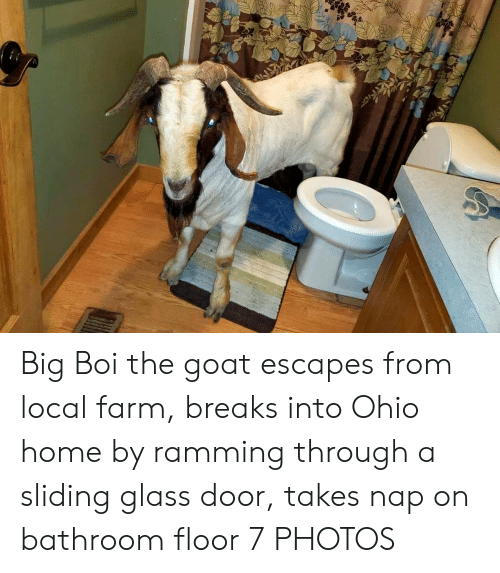 Goat, Home, and Ohio: Big Boi the goat escapes from local farm, breaks into Ohio home by ramming through a sliding glass door, takes nap on bathroom floor 7 PHOTOS