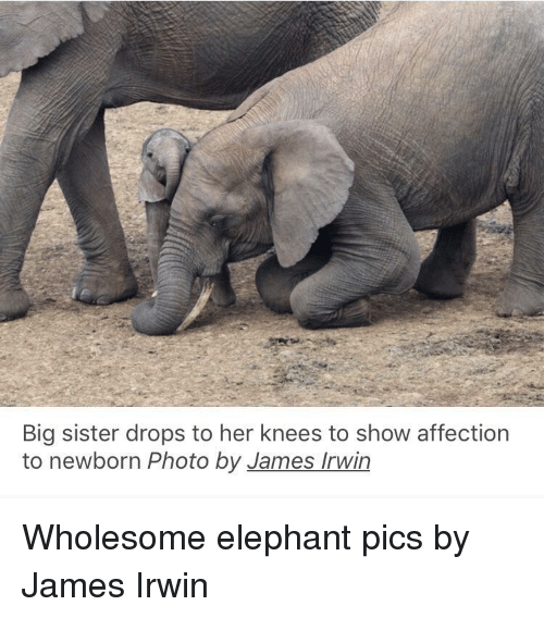 Elephant, Wholesome, and Her: Big sister drops to her knees to show affection  to newborn Photo by James Irwin Wholesome elephant pics by James Irwin