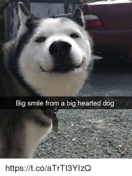 Memes, Smile, and 🤖: Big smile from a big hearted dog https://t.co/aTrTI3YIzQ