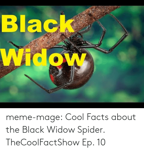 Black Widow Meme Mage Cool Facts About The Black Widow