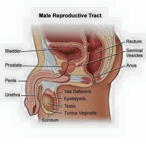 Male anus and penis showing