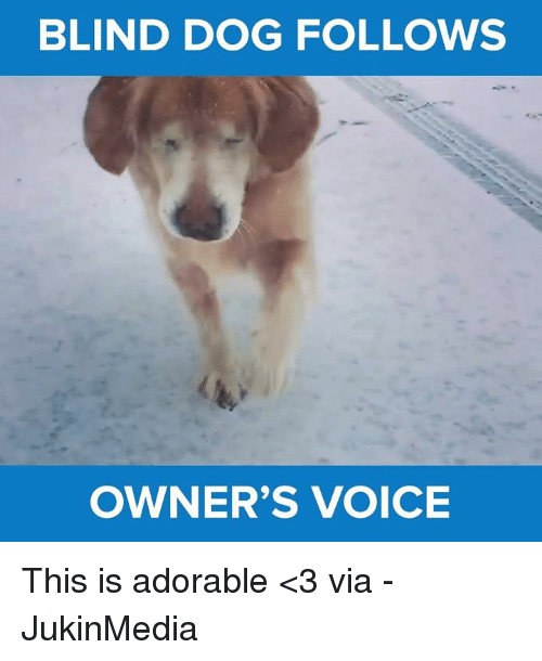 Memes, 🤖, and Blind Dog: BLIND DOG FOLLOWS  OWNER'S VOICE This is adorable <3 via - JukinMedia