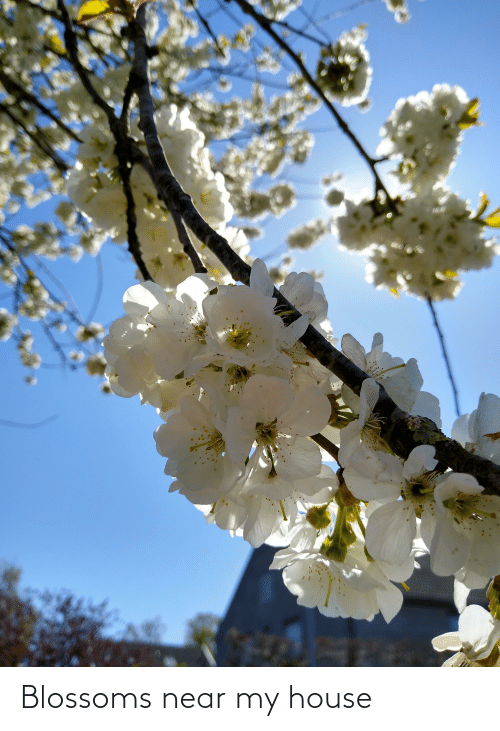My House, House, and Blossoms: Blossoms near my house