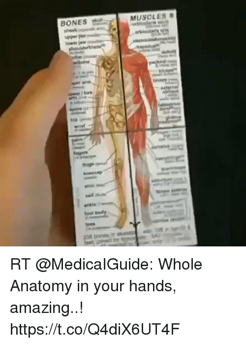 BONES MUSCLE S RT Whole Anatomy in Your Hands Amazing ...