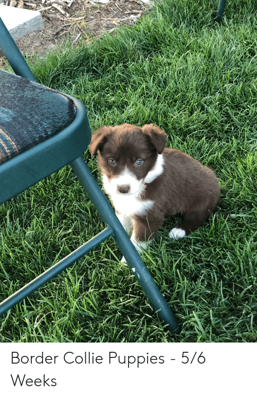 Puppies, Border Collie, and Collie: Border Collie Puppies - 5/6 Weeks