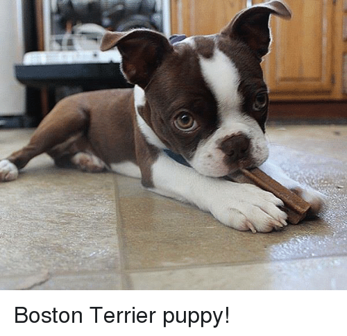 Memes Boston And Terrier Puppy