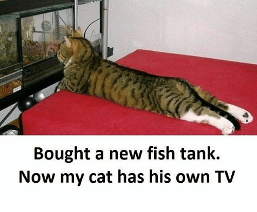 Cats, Memes, and Fish: Bought a new fish tank.  Now my cat has his own TV