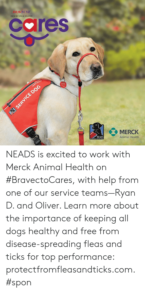 Dogs, Memes, and Work: BRAVECTO  CHEW OR TOPICAL SOLUTION  cares  NEADS  MERCK  Animal Health  NEADS NEADS is excited to work with Merck Animal Health  on #BravectoCares, with help from one of our service teams—Ryan D. and Oliver. Learn more about the importance of keeping all dogs healthy and free from disease-spreading fleas and ticks for top performance: protectfromfleasandticks.com. #spon