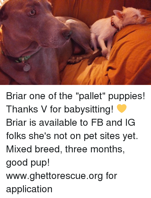 briar one of the pallet puppies thanks v for babysitting briar