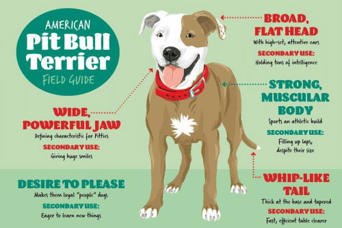 BROAD FLAT HEAD AMERICAN Pit Bull Terrier FIELD GUIDE With