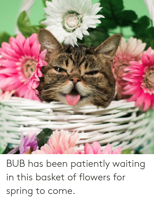 Memes, Flowers, and Spring: BUB has been patiently waiting in this basket of flowers for spring to come.