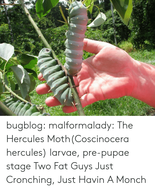 Tumblr, Blog, and Http: bugblog:  malformalady: The Hercules Moth(Coscinocera hercules) larvae, pre-pupae stage Two Fat Guys Just Cronching, Just Havin A Monch