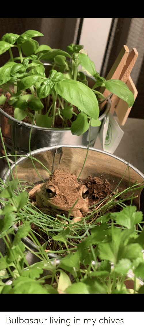 Bulbasaur, Living, and Chives: Bulbasaur living in my chives