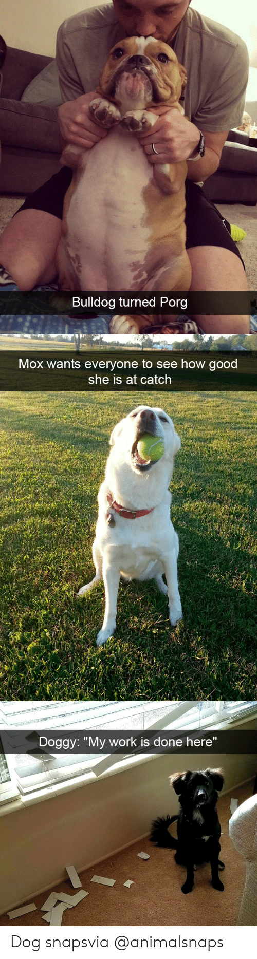 """Target, Tumblr, and Work: Bulldog turned Porg   Mox wants everyone to see how good  she is at catch   Doggy: """"My work is done here"""" Dog snapsvia @animalsnaps"""