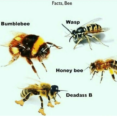 Deadass, Dank Memes, and Bees: Bumblebee  Facts, Bee  Wasp  Honey bee  Deadass B