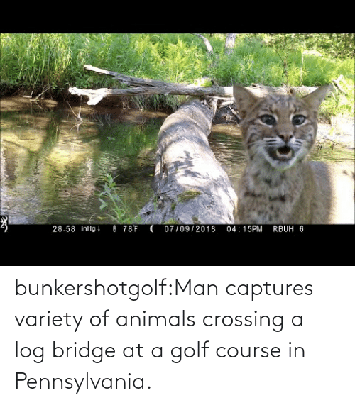 Animals, Tumblr, and Blog: bunkershotgolf:Man captures variety of animals crossing a log bridge at a golf course in Pennsylvania.