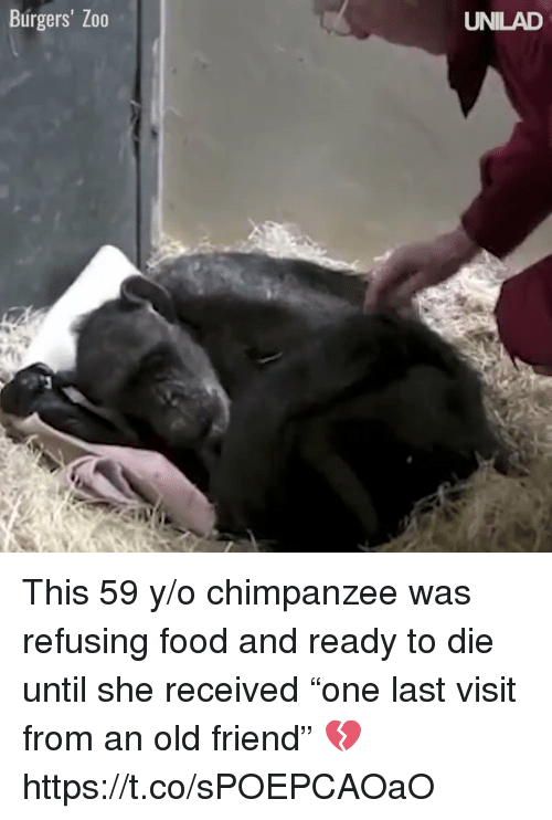 "Food, Girl Memes, and Old: Burgers' Zo0  UNILAD This 59 y/o chimpanzee was refusing food and ready to die until she received ""one last visit from an old friend"" 💔 https://t.co/sPOEPCAOaO"