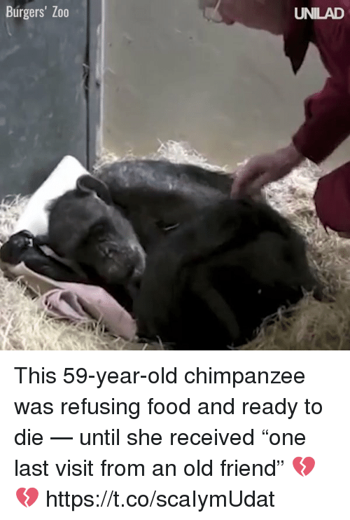 "Food, Memes, and Old: Burgers' Zo0  UNILAD This 59-year-old chimpanzee was refusing food and ready to die — until she received ""one last visit from an old friend"" 💔💔 https://t.co/scaIymUdat"