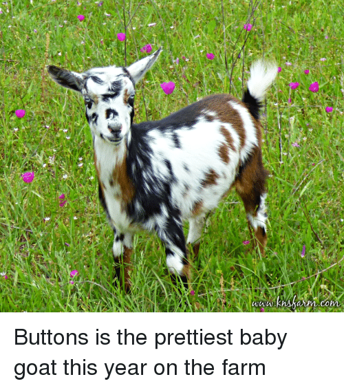 Goat, Baby, and Baby Goat: Buttons is the prettiest baby goat this year on the farm