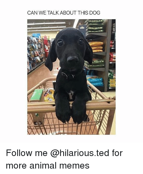 Funny, Memes, and Ted: CAN WE TALK ABOUT THIS DOG Follow me @hilarious.ted for more animal memes
