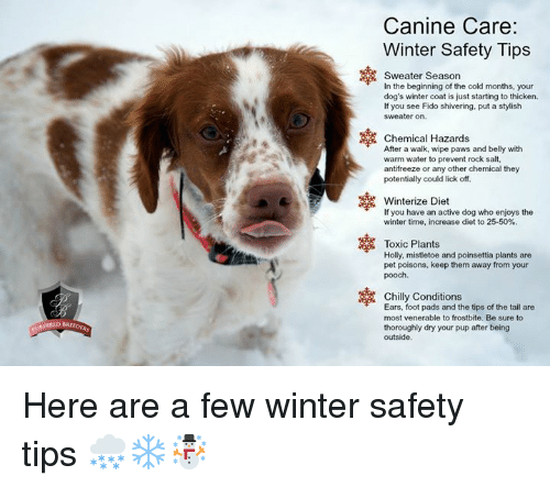 Dogs, Memes, and Winter: Canine Care:  Winter Safety Tips  Sweater Season  In the beginning of the cold months, your  dog's winter coat is just starting to thicken.  If you see Fido shivering, put a stylish  sweater on.  Chemical Hazards  After a walk, wipe paws and belly with  warm water to prevent rock salt,  antifreeze or any other chemical they  potentially could lick off.  Winterize Diet  If you have an active dog who enjoys the  winter time, increase diet to 25-50%.  Toxic Plants  Holly, mistletoe and poinsettia plants are  pet poisons, keep them away from your  Chilly Conditions  Ears, foot pads and the tips of the tail are  most venerable to frostbite. Be sure to  thoroughly dry your pup after being  outside  BREEDERS Here are a few winter safety tips 🌨❄️☃️