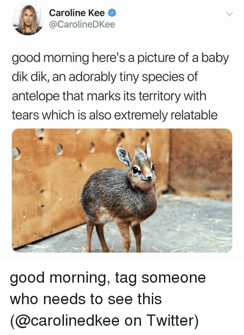Memes, Twitter, and Good Morning: Caroline Kee  @CarolineDKee  good morning here's a picture of a baby  dik dik, an adorably tiny species of  antelope that marks its territory with  tears which is also extremely relatable good morning, tag someone who needs to see this (@carolinedkee on Twitter)