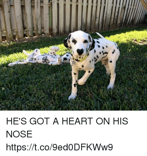 Heart, Girl Memes, and Got: cases HE'S GOT A HEART ON HIS NOSE https://t.co/9ed0DFKWw9