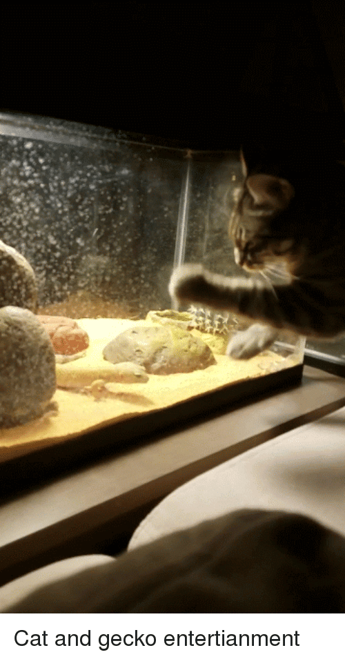 Cat, Gecko, and Attack: Cat and gecko entertianment