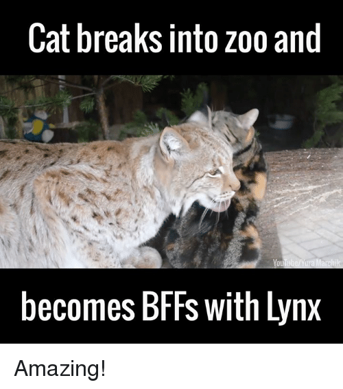 cat breaks into zoo and becomes bffs with lynx amazing 12222320 ✅ 25 best memes about lynx lynx memes