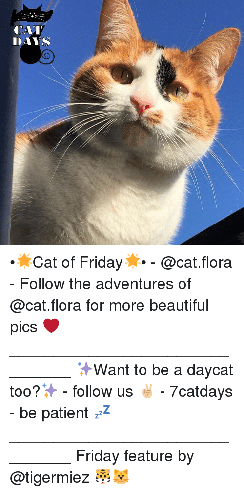 Beautiful, Friday, and Memes: CAT  DAYS •🌟Cat of Friday🌟• - @cat.flora - Follow the adventures of @cat.flora for more beautiful pics ❤ ________________________________ ✨Want to be a daycat too?✨ - follow us ✌🏼️ - 7catdays - be patient 💤 ________________________________ Friday feature by @tigermiez 🐯🐱