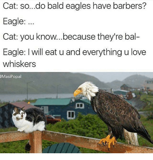 cat so do bald eagles have barbers eagle cat you 13543684 ✅ 25 best memes about pictures of the bald eagle pictures of