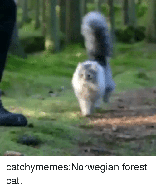 Cats, Reddit, and Tumblr: catchymemes:Norwegian forest cat.