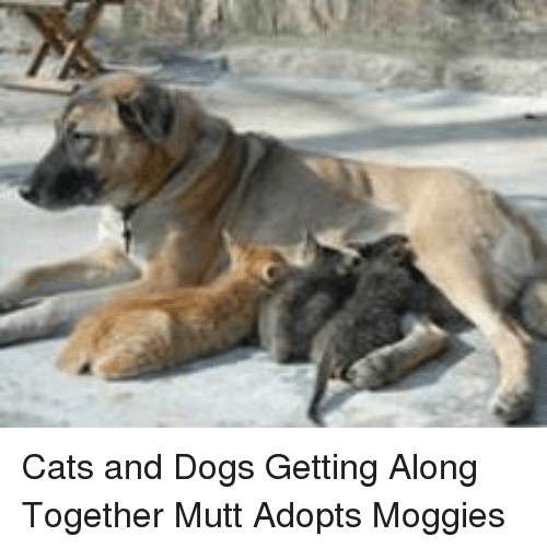 Cats, Dogs, and Cats and Dogs: Cats and Dogs Getting Along Together Mutt Adopts Moggies