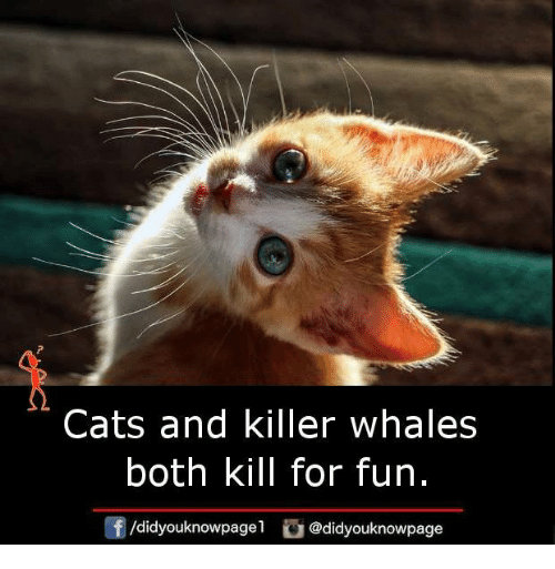 cats and killer whales both kill for fun didyouknowpage odidyouknowpage 21630526 ✅ 25 best memes about killer whales killer whales memes