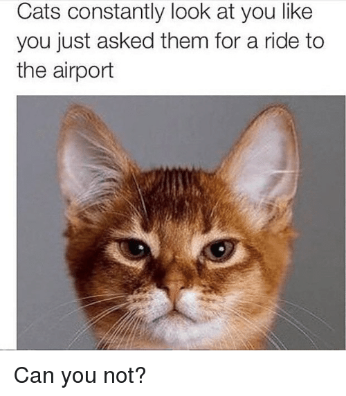 Cats, Girl Memes, and Can: Cats constantly look at you like  you just asked them for a ride to  the airport Can you not?