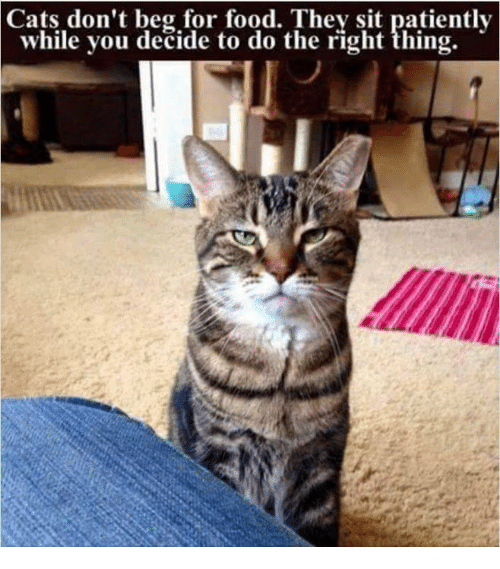 Cats, Food, and Memes: Cats  don't beg for food. They sit patiently  while you decide to do the right thing.