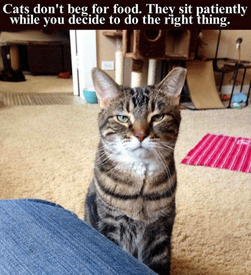 Cats, Food, and Memes: Cats don't beg for food. They sit patiently  while you dečide to do the right thing.