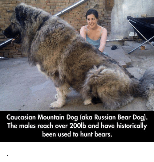Russian Bear Dogs