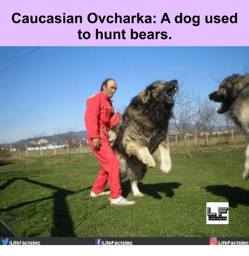 [Image: caucasian-ovcharka-a-dog-used-to-hunt-be...062673.png]