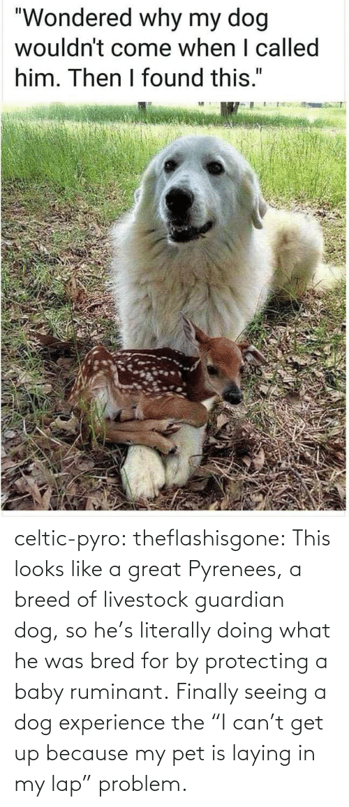 """Celtic, Target, and Tumblr: celtic-pyro:  theflashisgone: This looks like a great Pyrenees, a breed of livestock guardian dog, so he's literally doing what he was bred for by protecting a baby ruminant. Finally seeing a dog experience the """"I can't get up because my pet is laying in my lap"""" problem."""