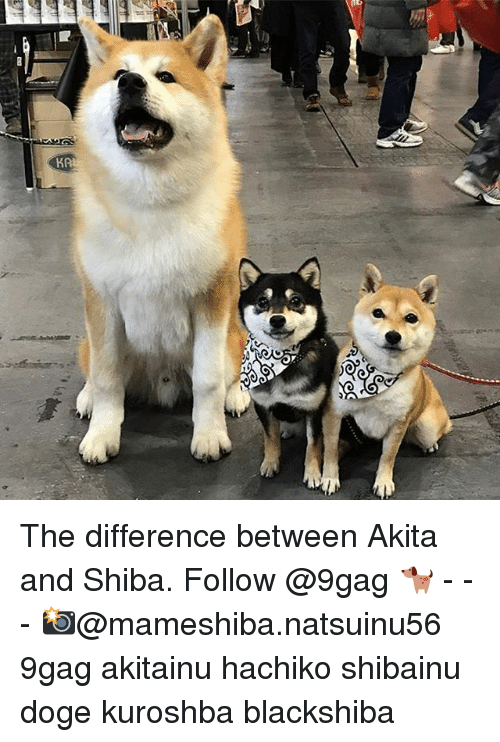 ceras or ne the difference between akita and shiba follow 16048509 ✅ 25 best memes about akita akita memes
