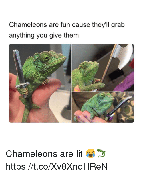 Lit, Memes, and 🤖: Chameleons are fun cause they'll grab  anything you give them Chameleons are lit 😂🦎 https://t.co/Xv8XndHReN