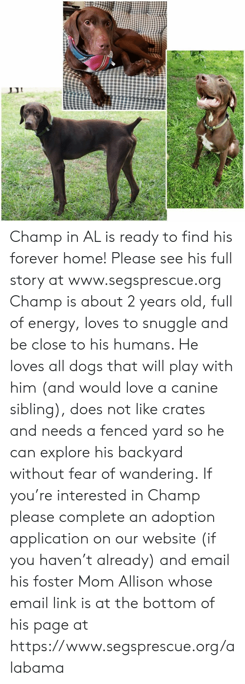 Dogs, Energy, and Love: Champ in AL is ready to find his forever home!  Please see his full story at www.segsprescue.org  Champ is about 2 years old, full of energy, loves to snuggle and be close to his humans. He loves all dogs that will play with him (and would love a canine sibling), does not like crates and needs a fenced yard so he can explore his backyard without fear of wandering.  If you're interested in Champ please complete an adoption application on our website (if you haven't already) and email his foster Mom Allison whose email link is at the bottom of his page at https://www.segsprescue.org/alabama