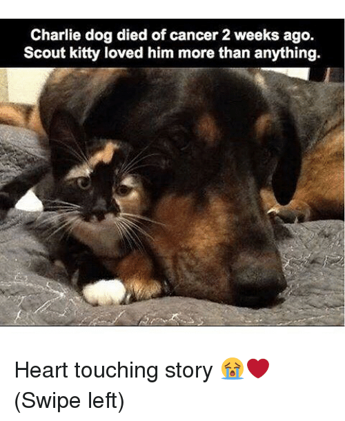 Charlie, Funny, and Cancer: Charlie dog died of cancer 2 weeks ago.  Scout kitty loved him more than anything. Heart touching story 😭❤️ (Swipe left)