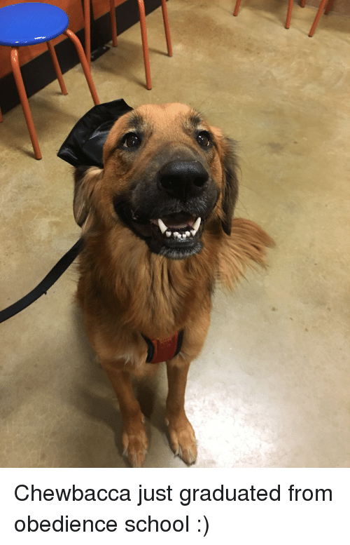 Chewbacca, School, and Obedience: Chewbacca just graduated from obedience school :)