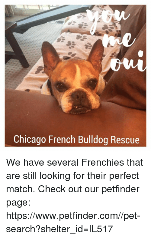 Chicago French Bulldog Rescue We Have Several Frenchies That Are