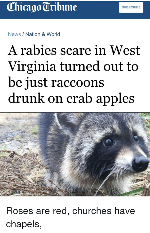 Chicago, Drunk, and News: Chicago Tribune  SUBSCRIBE  News/Nation & World  A rabies scare in West  Virginia turned out to  be iust raccoons  drunk on crab apples Roses are red, churches have chapels,