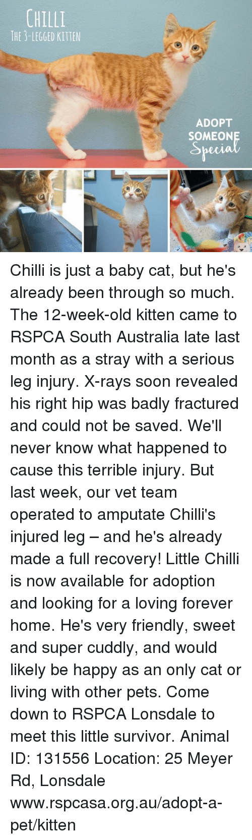 Memes, Soon..., and Survivor: CHILLI  THE 3-LEGGED KITTEN  ADOPT  SOMEONE Chilli is just a baby cat, but he's already been through so much. The 12-week-old kitten came to RSPCA South Australia late last month as a stray with a serious leg injury. X-rays soon revealed his right hip was badly fractured and could not be saved. We'll never know what happened to cause this terrible injury. But last week, our vet team operated to amputate Chilli's injured leg – and he's already made a full recovery!  Little Chilli is now available for adoption and looking for a loving forever home. He's very friendly, sweet and super cuddly, and would likely be happy as an only cat or living with other pets. Come down to RSPCA Lonsdale to meet this little survivor.  Animal ID: 131556  Location: 25 Meyer Rd, Lonsdale www.rspcasa.org.au/adopt-a-pet/kitten