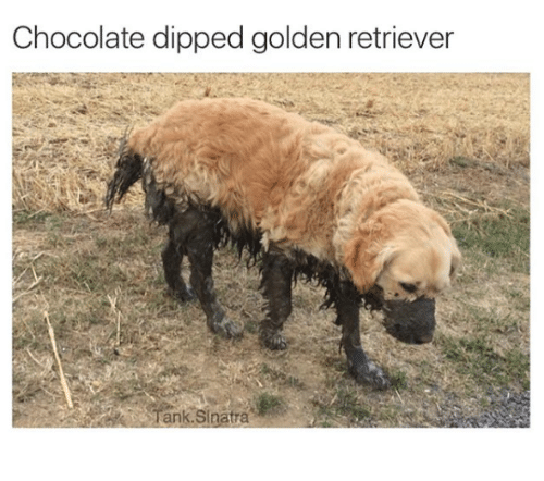 Chocolate Dipped Golden Retriever Dank Meme On Me